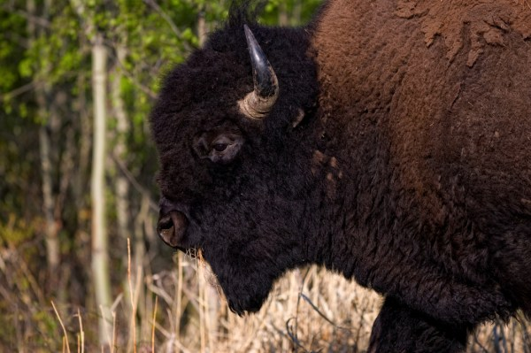 Plains Bison Conservation Herds Sidney Blake Photography