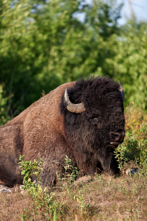 Plains bison bull (bison bison bison) is grazing whilst lying down during a hot summer morning at Elk Island National Park, Alberta wildlife behaviour portrait.