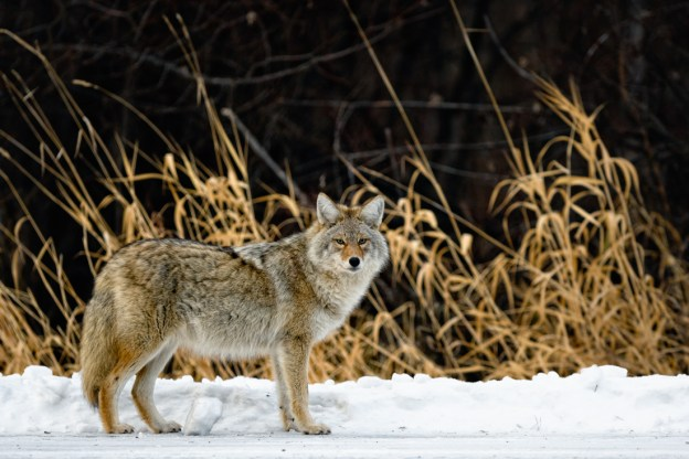 A pregnant coyote pauses whilst looking for food during a mid-winter morning at Elk Island National Park, Alberta wildlife