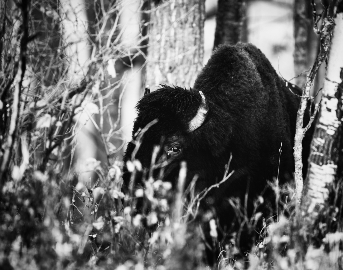 Black and white Plains bison bull (bison bison bison) stands deep in the woods, partially hidden by trees, at Elk Island National Park mid-autumn, Alberta wildlife environmental portrait.