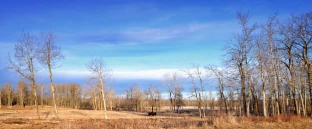 Lone bison strolling along the field during an early spring morning at Elk Island National Park, plains bison habitat.