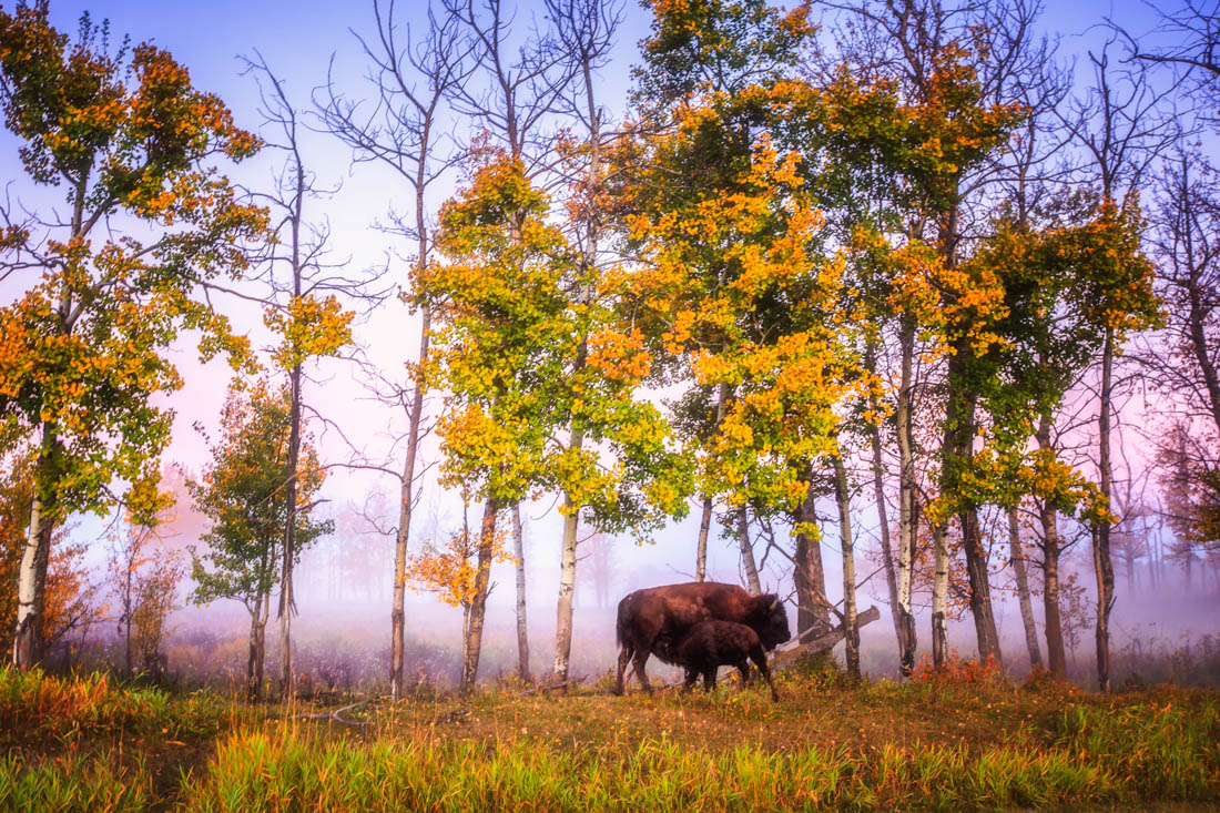 A Plains bison calf stops to feed from its mother in the early autumn fog and sun.