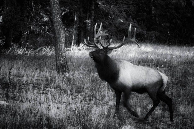 Black and white of a bull elk (cervus elaphus, wapiti) with a full rack running through the woods as sunset winds down during the annual elk rut in Jasper National Park, Alberta wildlife.