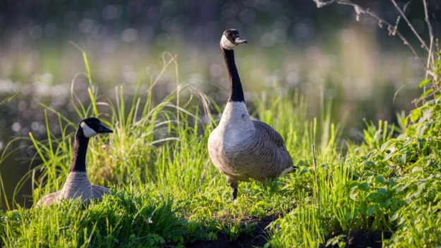 Canadian geese (branta canadensis) sit amongst the wetlands at Elk Island National Park during an early summer sunrise, Alberta wildlife.