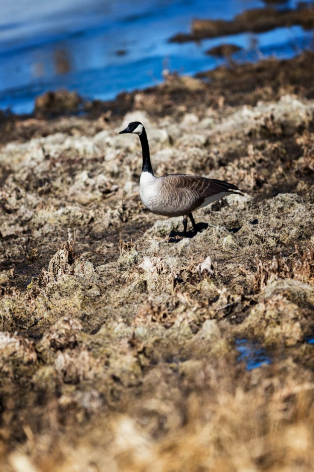 A lone Canada goose (branta canadensis) walks along the uneven terrain during an early afternoon at Elk Island National Park, Alberta wildlife.