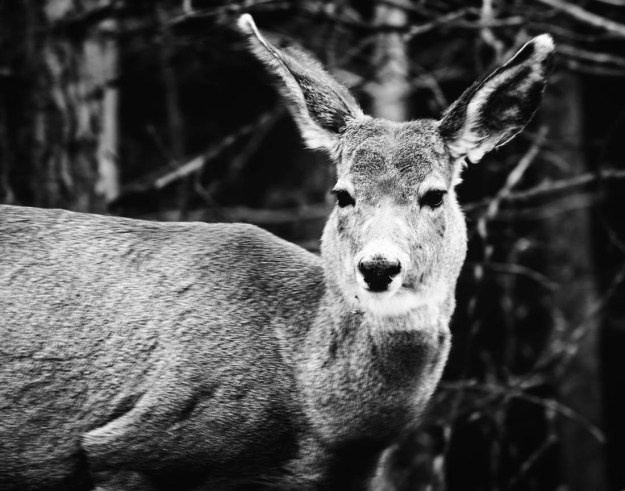 Black and white mule deer doe (odocoileus hemionus) slowly runs and is alert as she sense another presence in the woods during a late spring aftern in Jasper National Park, Alberta wildlife.