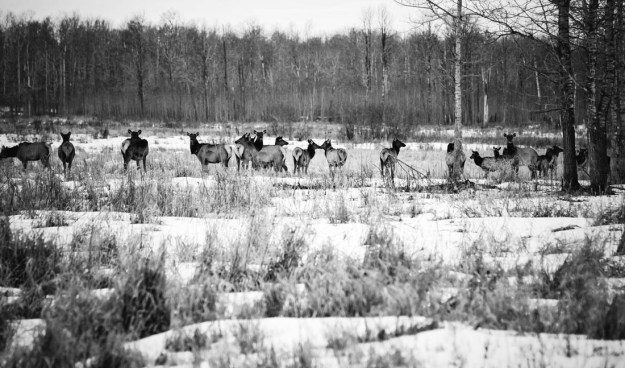 Black and white elk herd (wapiti, cervus elaphus) gather in the meadow during a late winter's dawn at Elk Island National Park.