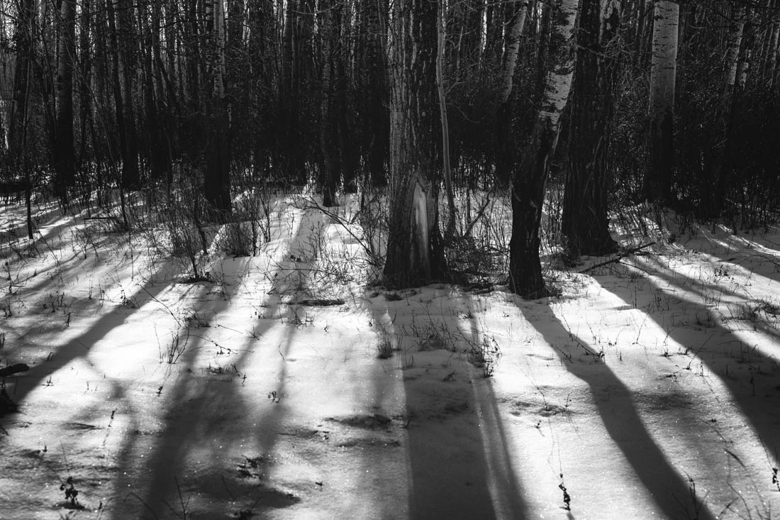 Shadows of barren winter trees fall across the sparking snow during a mid-winter morning at Elk Island National Park, black and white fine art Alberta landscape.