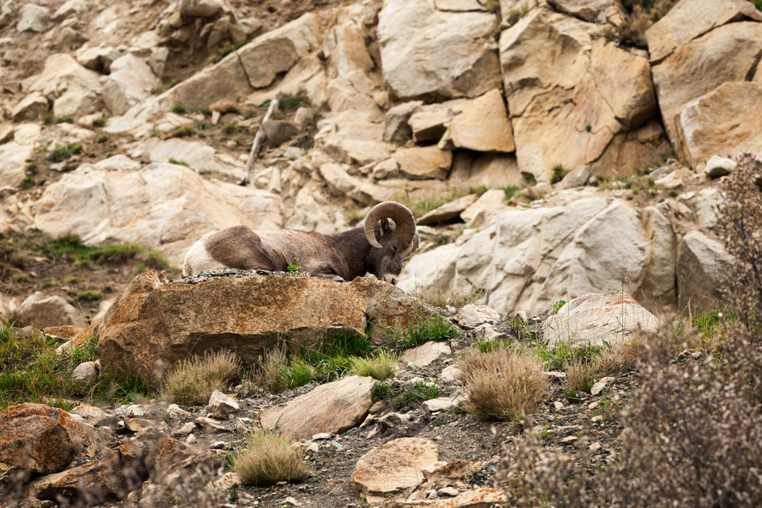 A well camouflaged bighorn sheep ram (Ovis canadensis) is falling asleep whilst resting on the rocky mountain terrain at Jasper National Park during an early autumn afternoon, Alberta Canadian Rockies wildlife environmental portrait.