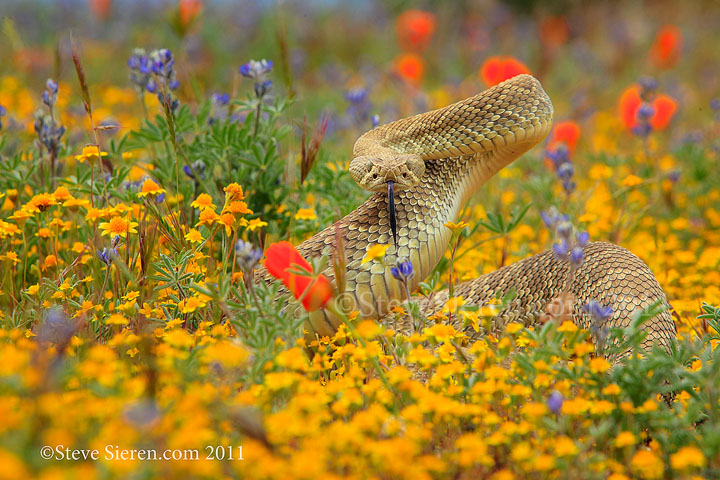 Mojave Green Rattlesnake in the Mojave Desert.