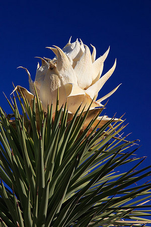 The beginning stage of a joshua tree blooming