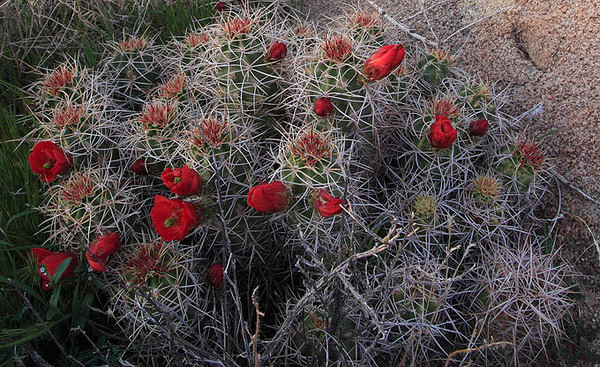 Mojave Mound Cacti