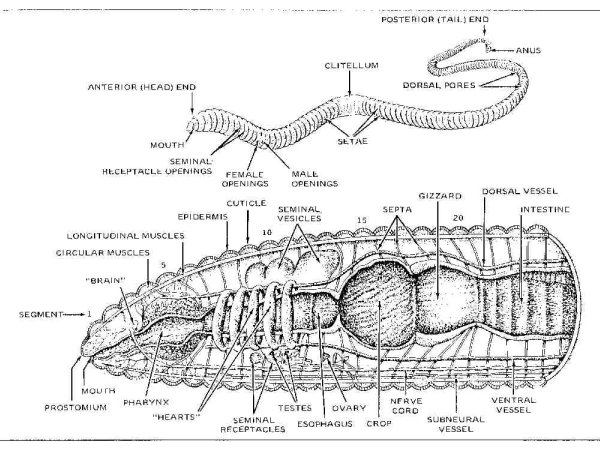 esfome: labeled earthworm diagram