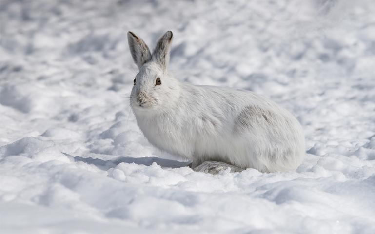 can snowshoe hares adapt