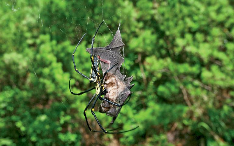bat eating spider sierra