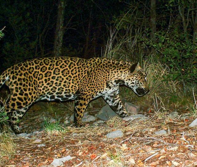 Jaguars Are Reappearing In The Southwest A Border Wall Would Put An End To That