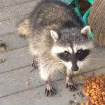 This isn't Don, it is a picture of his friend, Ralphy Raccoon, Ralph is not allowed in the St Charles or Coyoteville, so many don't realize that Don has a friend.
