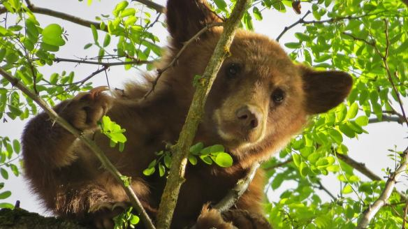 6/22/16 Hi, just hanging out here, having a snack... don't interfere, my claws are not the same as fingernails.. Bye. Little buy Mighty Bear