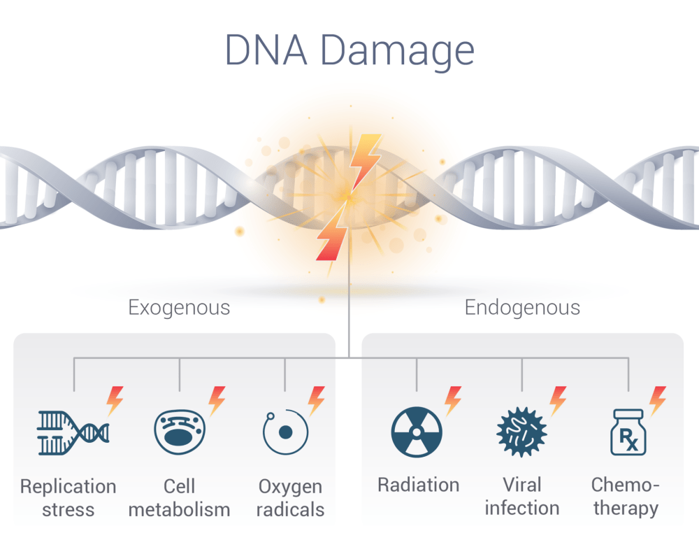 medium resolution of sierra oncology targeted cancer treatments dna damage responsedna is continuously subject to damage due to a