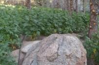 marijuana_plants.jpg