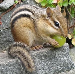 chipmunk-2
