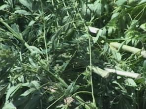 marijuana_close_up