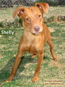 10-04-10_shelly_vizsla_mix_fem_1_yr_id10-03-051_-_facebook