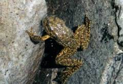 mountain_yellow_legged_frog