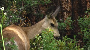 monroe-deer