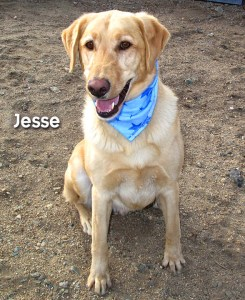 12-12-21 Yellow Lab 4 yr neut male JESSE 3 ID12-12-007 - Stray 12-10 NSH owner Ashley Taylor 2123 Navajo 920-7416 FACEBOOK