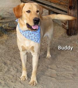 12-12-21 Yellow Lab neut male BUDDY 2 ID12-12-012 - OR 12-14 Ed & Michelle Sandoval 463 Arboles 792-1248 FACEBOOK 2