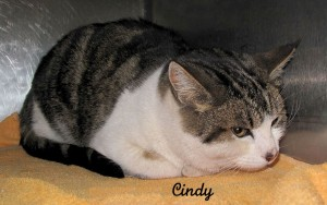 13-01-25 White & Tabby spayed fem cat CINDY 2 ID13-01-021 - SBP 1-21 Wayne Deja FACEBOOK