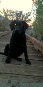 Black Lab pup, Eko