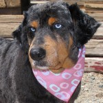 13-07-27 OCTOBER Aussie Rottweiler mix senior fem ID13-07-027 - COLOR NEWSPAPER