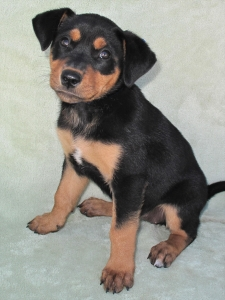 13-09-07 REGAN Black & tan female puppy 8 weeks 2 ID13-09-004 - COLOR