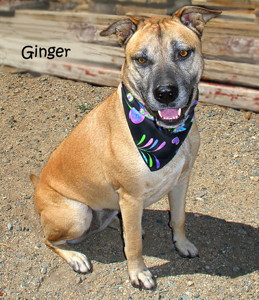 13-09-07 GINGER Shepherd Pit mix ID13-09-010 - KSRW