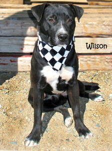 13-10-04 WILSON Black Lab mix ID13-06-024 - KSRW
