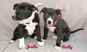 14-01-10 Two Lab mix fem pups B&W 9 wks HOLLY ID13-12-019 & 12 wks ID14-01-002 C COLOR NEWSPAPER