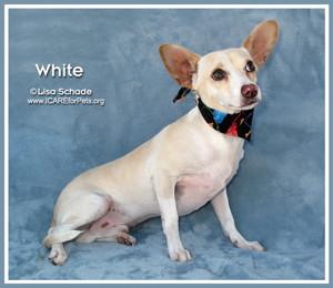 14-08-23 Chihuahua Dachshund mix unneut male 9 mo WHITE 3 ID14-08-033 - OR 8-17 Anna Gonzalez 2250 Loch Lomond 920-9233 FACEBOOK