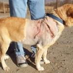 STITCH injurd Yellow Lab male