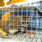 This dispersing juvenile Ringtail wandered into an outbuilding at CalTrans.