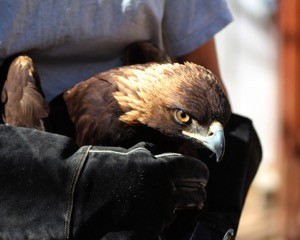 Male Golden Eagle who was reunited with his mate after recovery. Photo by Peggy Hankings