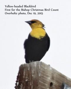 Yellow-headed Blackbird overholtz Bishop CBC 19Dec2015