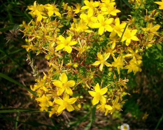 sarı kantaron bitkisel çayının faydaları