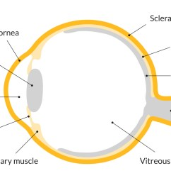 a diagram showing the parts of the eye including the cornea lens iris [ 1400 x 788 Pixel ]