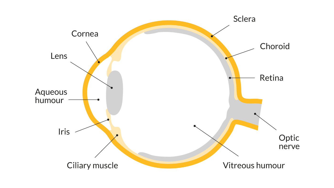 hight resolution of a diagram showing the parts of the eye including the cornea lens iris