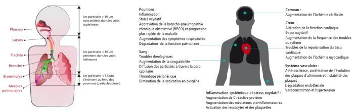 Les particules atmosphériques pénètrent principalement dans l'organisme par l'appareil respiratoire. Les plus grossières sont arrêtées au niveau des voies supérieures, alors que les plus fines pénètrent profondément jusqu'aux alvéoles pulmonaires. Ces particules sont responsables d'inflammations et peuvent engendrer des troubles respiratoires et cardio-vasculaires.
