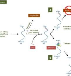 aso based gene modulation mechanisms in the cytoplasm [ 913 x 872 Pixel ]