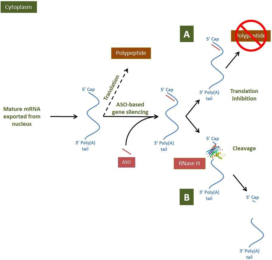 hight resolution of aso based gene modulation mechanisms in the cytoplasm