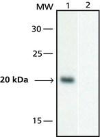 Anti-GAL4, Activation domain antibody produced in rabbit